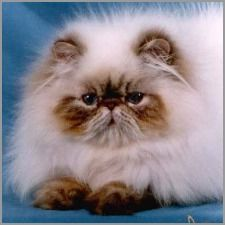 Chocolate Lynx point Himalayan. Possibly the cutest grown cat ever! They named him or her S'mores. (Along with some other fancy names.)  I love this cat!