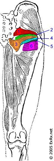 External Rotators 1.Piriformis 2.Gemellus Superior 3. Obturator Internus 4. Gemellus Inferior 5. Obturator Externus 6. Quadratus Femoris