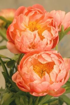 Paeonia 'Coral Sunset' - wow, I have never seen such a color. The Denver Botanic Garden has a special section of peonies. Will have to go back and look.