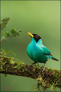 Green Honeycreeper by Chris Jimenez Nature Photo, via Flickr