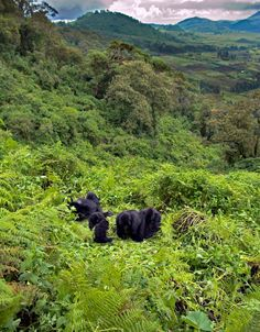 Virunga Mountains, Rwanda. The Congo River Basin climate is equatorial tropical, with two rainy seasons including very high rainfalls, & high temperature year round. The basin is home to the endangered mountain gorilla - Instinct Safaris Uganda, Rwanda, DR Congo
