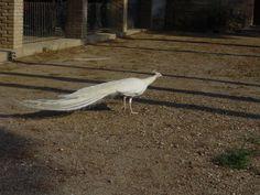 en Valonga: pavo real albino