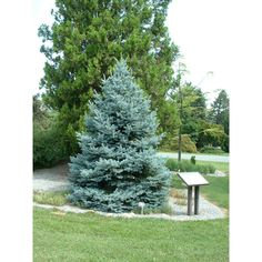 "Picea pungens 'Fat Albert' One of the best varieties of ""Blue Spruce"", forming a shapely bush at a very young age. Should reach at least in 10 years. Conifer Plants, Patio Plants, Spruce Tree, Blue Spruce, Broken Arrow Nursery, Evergreen Landscape, Colorado, Driveway Landscaping, Yard Care"