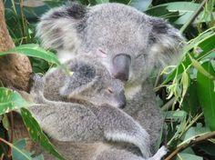 Due koala dormono abbracciati