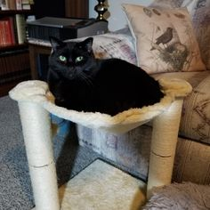 #laurascats #catsoftwitter #cats #catsofinstagram #catsrule #caturdays #catlover #housecats #catslife #catsoftumblr #cattrees #hammocksforcats #blackcats Cat Tree, Hammock, Cats Of Instagram, Cat Lovers, Animals, Animales, Animaux, Animal Memes, Hammocks