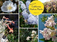 Photos of California Native Plants in a drought tolerant garden. Toyon, Chitalpa, Arctostaphylos, Ceanothus, Zauschneria, Erigeron. Salvia. Xeriscaping