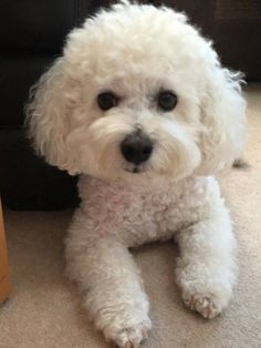 14 Things You Should Know About Bichon Frises Before You Get One & Page 2 of 3 & PetPress Source by kolokotvictoria The post 14 Things You Should Know About Bichon Frises Before You Get One Cute White Dogs, Cute Cats, Cute Puppies, Dogs And Puppies, Pet Dogs, Dog Cat, Doggies, Bichon Dog, Baby Animals