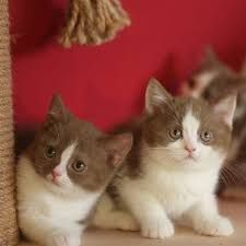 British Shorthair White And Cinnamon Google Search With Images