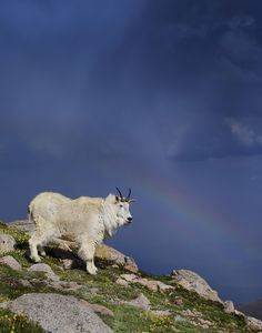 "☀""Oreamnos americanus"", mountain goat on the top of the mountain in 14,200 ft above see level, in background rainbow with craaaazy storm coming in, thank you for looking!"