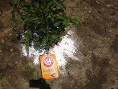 Így használd a szódabikarbónát a kertben!