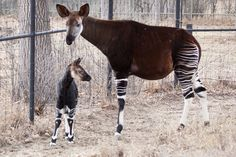 http://www.zooborns.com/zooborns/2014/02/okapi-denver-zoo.html#