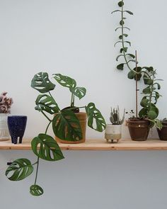 After months of struggling my monstera obliqua is finally going for it…