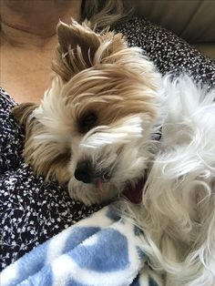Awe, Toby loves to cuddle on moms chest. Such a sweet Parti Yorkie.