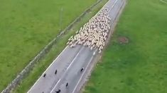 Herding dogs in ACTION In noncompetitive herding tests, judges look for a dog's ability to move and control livestock by fetching or driving Farm Animals, Animals And Pets, Funny Animals, Cute Animals, Funny Animal Videos, Funny Animal Pictures, Cool Cars Images, Funny Dogs, Cute Dogs