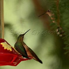 What a beautiful picture of a hummingbird feeding at a feeder.