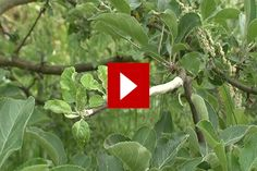 VIDEO: Blant fruktdyrkere er det helt vanlig å pode sine trær selv. Og hjemme i privathagene er det også vanlig å finne frukttrær podet med forskjellige sorter. Hos private er trærne imidlertid som oftest kjøpt med de forskjellige sorter podet på fra start. Men det er faktisk ikke så vanskelig å gjøre det selv, hvis man følger noen enkle retningslinjer.