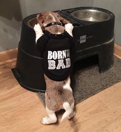 Winston, miniature dapple piebald dachshund puppy