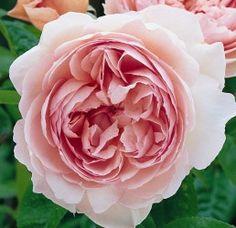 Gentle Hermoine  David Austin 2005. Deze roos heeft alles wat je van een traditionele David Austin roos mag verwachten. Zeer sterke geur en de bloemen zijn zo sterk gevuld dat er haast geen blaadje meer bij past. De kleur past ook helemaal in het rijtje het is een romantisch licht- tot pastelroze. Dit is echt een Engelse roos in optima forma. Bloeiherhalend.  http://www.davidaustinroses.com/english/showrose.asp?showr=4524