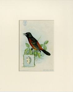 "1898 Orchard Oriole Print from the American Singer Series Sewing Machine Song Bird Card Set - J.L. Ridgway Antique Bird Print Matted 8x10"" by AntiquePrintBoutique on Etsy"
