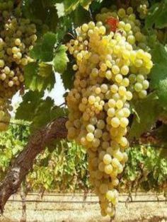 Grapes Of Israel: And God said, Be fruitful and multiply.