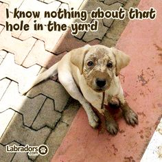 Labradors.com cute #puppy yellow labrador