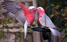 Galah cockatoo photo by Margaret Leggae
