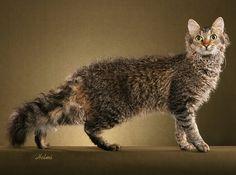RedDazzle BC Sweet Tyler - La Perm breed