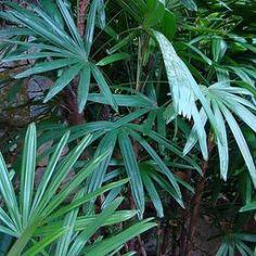Palmeira-ráfia-como cuidar, dicas.2