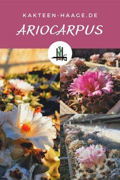 Der #Ariocarpus steht in der Erfurter Kakteen-Gärtnerei mitten im September in voller Blüte! Eine herrliche Pracht bei Kakteen-Haage. Tipps zu diesem #Kaktus gibt es im Onlineshop bei Kakteen-Haage. #kaktus #kakteenhaage #erfurt #ilovecactus #kaktusliebe