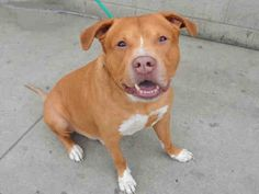 SAFE 5/9/2016 by Rescue Dogs Rock NYC --- SUPER URGENT Manhattan Center DJ – A1071901  MALE, TAN / WHITE, AMERICAN STAFF MIX, 9 yrs OWNER SUR – EVALUATE, NO HOLD Reason TOO BIG Intake condition EXAM REQ Intake Date 04/29/2016