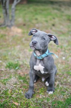 blue nosed pitbull puppy