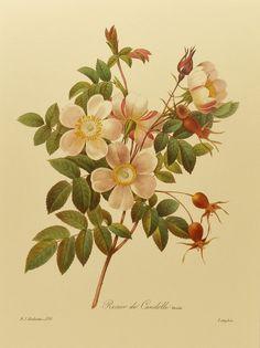 Redouté, De Candolles Rose. http://www.etsy.com/listing/90222521/botanical-art-print-de-candolles-rose