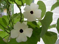 Mustasilmäsusanna valkoinen