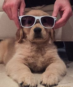 Can't see the haters #welovegoldens by goldenretrievers_