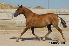 Dauradella II   PRE horses   PORTAL HÍPICO