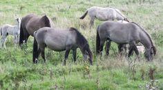 Wildpferde Geltinger Birk, Foto: S. Hopp