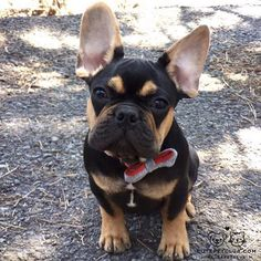 """What do you mean you're out of treats?"" Hamlet, the French Bulldog, @heyhamlet on instagram #cutepetclub [source: http://ift.tt/296gGCk ]"
