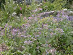 Pennyroyal Plant Tips For Growing Pennyroyal Perennials Herbs