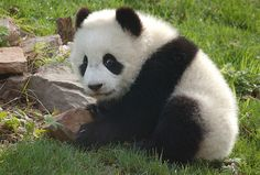When they are first born, Giant Pandas are only about the size of a stick of butter.  Dangers: Although it is now a protected area, the Giant Panda's habitat has dwindled significantly. With the panda's very low birthrate, pandas are in danger of extinction.