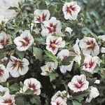 Rose of Sharon care and pruning
