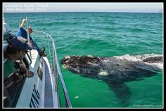 Whale watching in False Bay, South Africa Most Beautiful Beaches, Beautiful Places, Cape Town Holidays, Provinces Of South Africa, Beautiful Nature Pictures, Cape Town South Africa, Beaches In The World, Cool Countries, Whale Watching