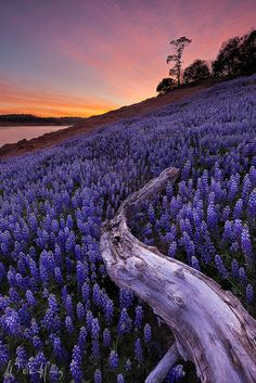 Purple Magic, lupine field