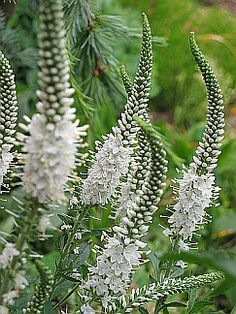Veronica longifolia 'Alba' - - blooms all summer, heat & drought resistant, very little care required, Read about more landscaping ideas