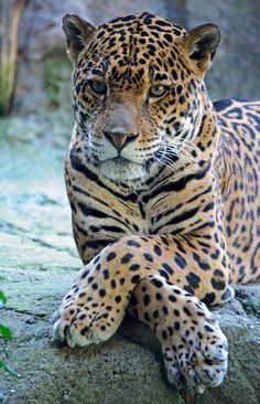 The Jaguar is a big cat, a feline in the Panthera genus, and is the only Panthera species found in the Americas. Nature Animals, Animals And Pets, Baby Animals, Funny Animals, Cute Animals, Funny Pets, Wild Animals, Images Of Animals, Pretty Animals