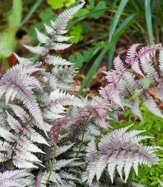 Athyrium Niponicum var. Pictum 'Regal Red',Painted Lady Fern 'Regal Red', Japanese Painted Fern 'Regal Red', Athyrium niponicum 'Regal Red', Shade plants, shade perennial, plants for shade, plants for wet soil, Silver F