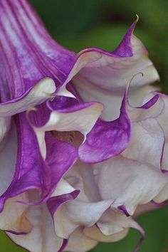 purple trumpet flower