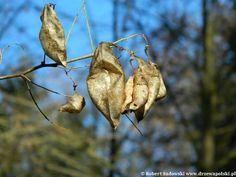 Moszenki południowe - Colutea arborescens