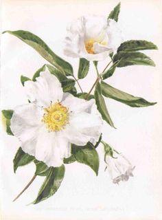 Flora and Sylva  Cherokee Rose