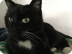 Colorado Springs, CO - Domestic Shorthair. Meet Denali, a cat for adoption. http://www.adoptapet.com/pet/12408269-colorado-springs-colorado-cat