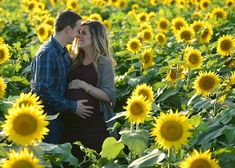 Fall Maternity photos in a sunflower field in Kansas - Grinter Farms